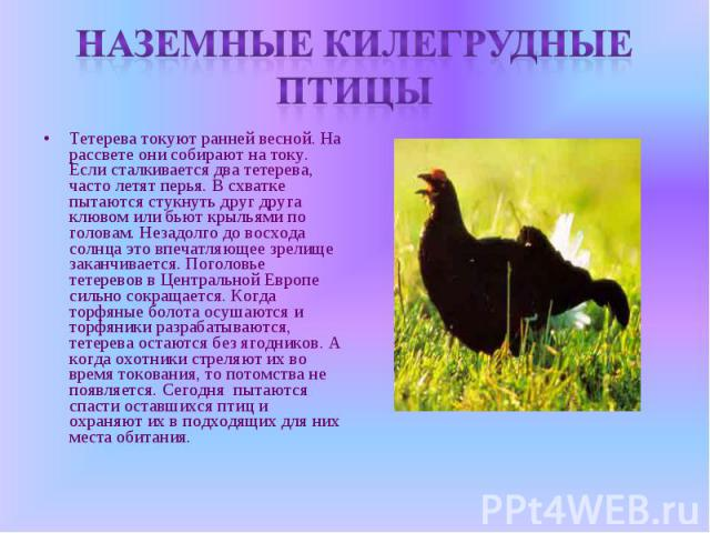 Наземные килегрудные птицыТетерева токуют ранней весной. На рассвете они собирают на току. Если сталкивается два тетерева, часто летят перья. В схватке пытаются стукнуть друг друга клювом или бьют крыльями по головам. Незадолго до восхода солнца это…
