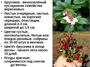 Брусника - вечнозелёный кустарничек семейства вересковых. Листья очерёдные, част