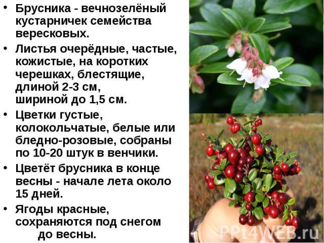 Брусника - вечнозелёный кустарничек семейства вересковых. Листья очерёдные, частые, кожистые, на коротких черешках, блестящие, длиной 2-3 см, шириной до 1,5 см. Цветки густые, колокольчатые, белые или бледно-розовые, собраны по 10-20 штук в венчики.…