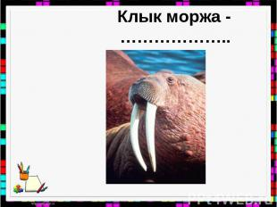 Клык моржа - ………………..