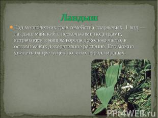 Ландыш Род многолетних трав семейства спаржевых. 1 вид — ландыш майский с нескол
