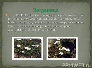 Ветреница. ВЕТРЕНИЦА (анемона), род корневищных трав (изредка полукустарников) с