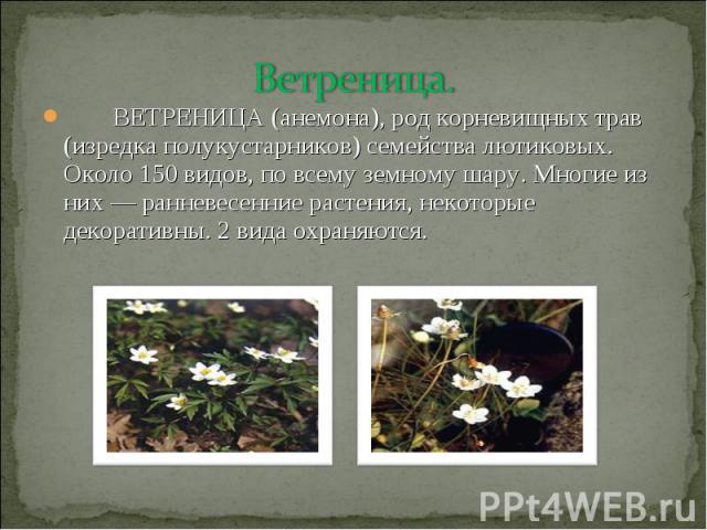 Ветреница. ВЕТРЕНИЦА (анемона), род корневищных трав (изредка полукустарников) семейства лютиковых. Около 150 видов, по всему земному шару. Многие из них — ранневесенние растения, некоторые декоративны. 2 вида охраняются.