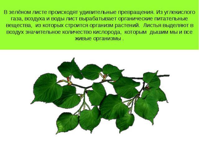 В зелёном листе происходят удивительные превращения. Из углекислого газа, воздуха и воды лист вырабатывает органические питательные вещества, из которых строится организм растений. Листья выделяют в воздух значительное количество кислорода, которым …