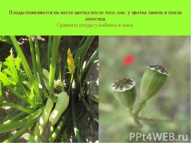 Плоды появляются на месте цветка после того, как у цветка завяли и опали лепестки. Сравните плоды у кабачка и мака.
