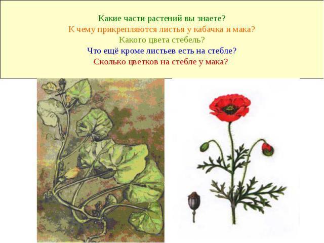 Какие части растений вы знаете? К чему прикрепляются листья у кабачка и мака? Какого цвета стебель? Что ещё кроме листьев есть на стебле? Сколько цветков на стебле у мака?
