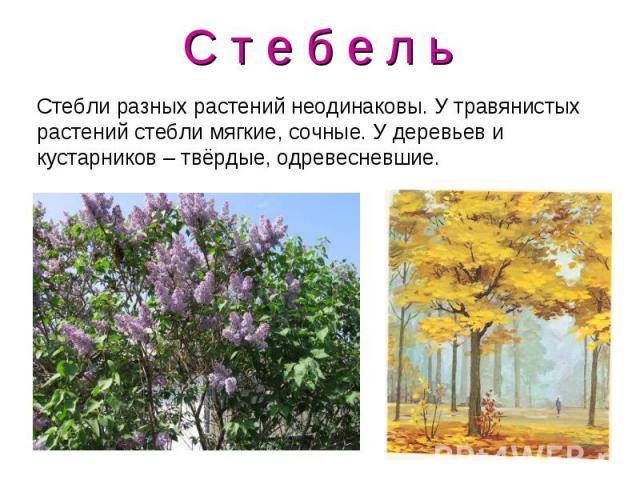 С т е б е л ь Стебли разных растений неодинаковы. У травянистых растений стебли мягкие, сочные. У деревьев и кустарников – твёрдые, одревесневшие.