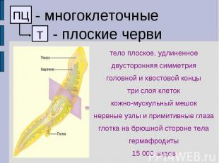 - многоклеточные - плоские черви тело плоское, удлиненное двусторонняя симметрия