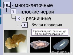 - многоклеточные - плоские черви - ресничные - белая планария Пресноводные, донн