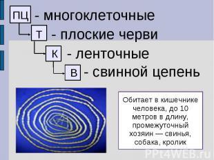 - многоклеточные - плоские черви - ленточные - свинной цепень Обитает в кишечник