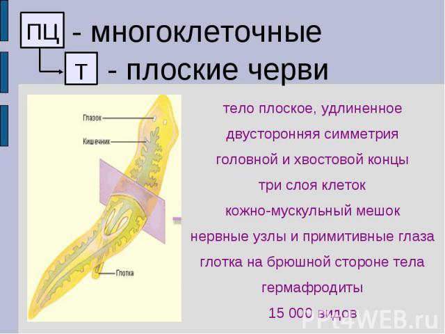 - многоклеточные - плоские черви тело плоское, удлиненное двусторонняя симметрия головной и хвостовой концы три слоя клеток кожно-мускульный мешок нервные узлы и примитивные глаза глотка на брюшной стороне тела гермафродиты 15 000 видов