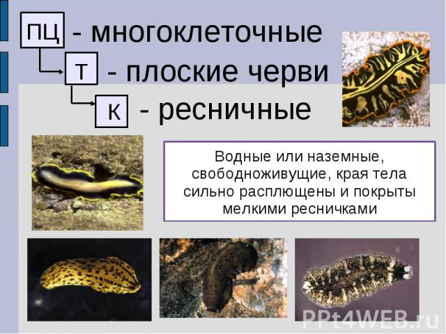 - многоклеточные - плоские черви - ресничные Водные или наземные, свободноживущие, края тела сильно расплющены и покрыты мелкими ресничками