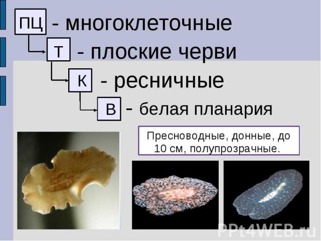 - многоклеточные - плоские черви - ресничные - белая планария Пресноводные, донные, до 10 см, полупрозрачные.