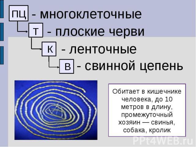 - многоклеточные - плоские черви - ленточные - свинной цепень Обитает в кишечнике человека, до 10 метров в длину, промежуточный хозяин — свинья, собака, кролик