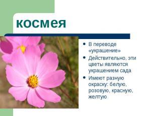 космеяВ переводе «украшение» Действительно, эти цветы являются украшением сада И