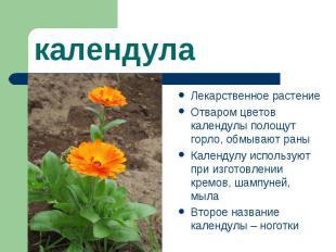 календулаЛекарственное растение Отваром цветов календулы полощут горло, обмывают