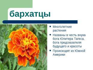 бархатцыМноголетние растения Названы в честь внука бога Юпитера Тагеса, бога пре