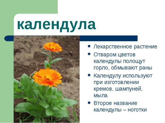 календулаЛекарственное растение Отваром цветов календулы полощут горло, обмывают раны Календулу используют при изготовлении кремов, шампуней, мыла Второе название календулы – ноготки
