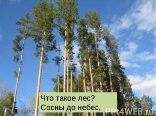 Что такое лес? Сосны до небес,