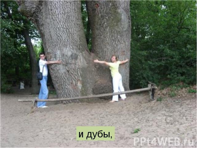 и дубы,