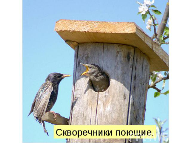 Скворечники поющие.