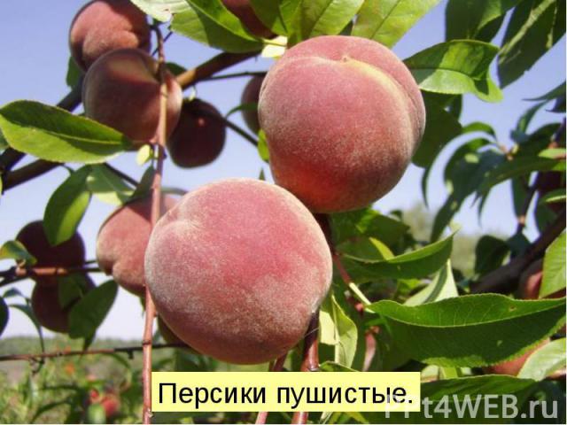Персики пушистые.