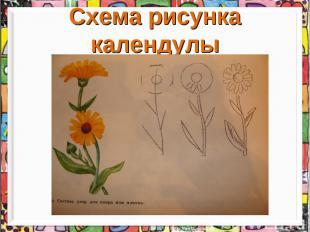 Схема рисунка календулы