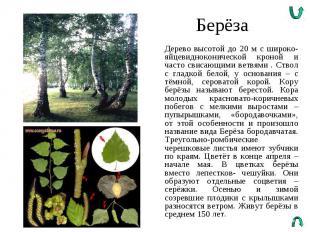 Берёза Дерево высотой до 20 м с широко-яйцевидноконической кроной и часто свисаю