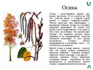 Осина Осина – светолюбивое дерево, оно может достигать 35 м и расти до 180 лет.
