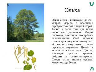 Ольха Ольха серая – невысокое, до 20 метров, дерево с блестящей серебристо-серой