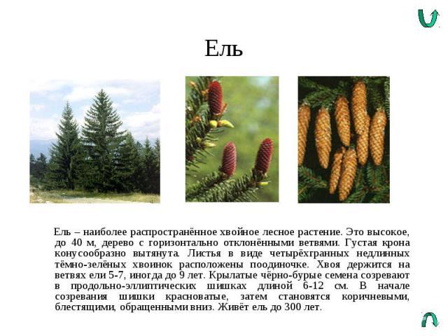 Ель Ель – наиболее распространённое хвойное лесное растение. Это высокое, до 40 м, дерево с горизонтально отклонёнными ветвями. Густая крона конусообразно вытянута. Листья в виде четырёхгранных недлинных тёмно-зелёных хвоинок расположены поодиночке.…