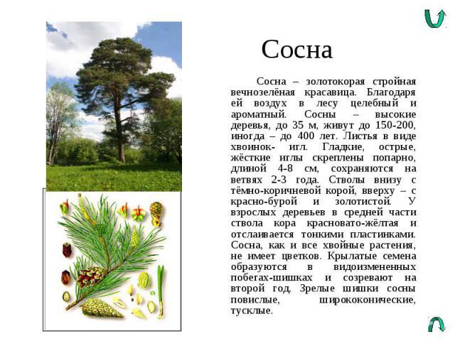 Сосна Сосна – золотокорая стройная вечнозелёная красавица. Благодаря ей воздух в лесу целебный и ароматный. Сосны – высокие деревья, до 35 м, живут до 150-200, иногда – до 400 лет. Листья в виде хвоинок- игл. Гладкие, острые, жёсткие иглы скреплены …