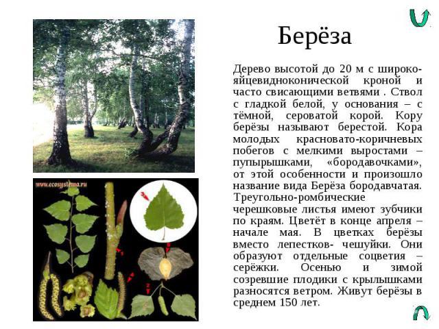 Берёза Дерево высотой до 20 м с широко-яйцевидноконической кроной и часто свисающими ветвями . Ствол с гладкой белой, у основания – с тёмной, сероватой корой. Кору берёзы называют берестой. Кора молодых красновато-коричневых побегов с мелкими вырост…