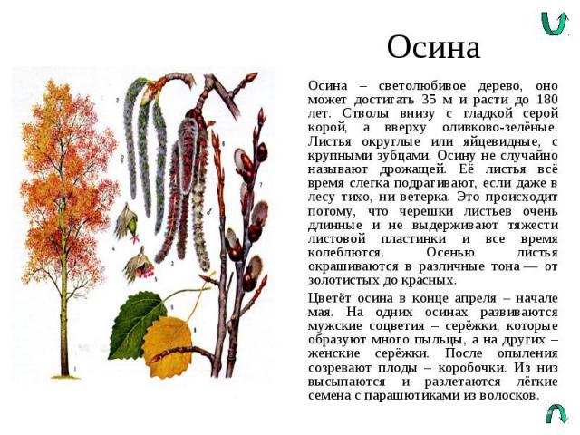 Осина Осина – светолюбивое дерево, оно может достигать 35 м и расти до 180 лет. Стволы внизу с гладкой серой корой, а вверху оливково-зелёные. Листья округлые или яйцевидные, с крупными зубцами. Осину не случайно называют дрожащей. Её листья всё вре…