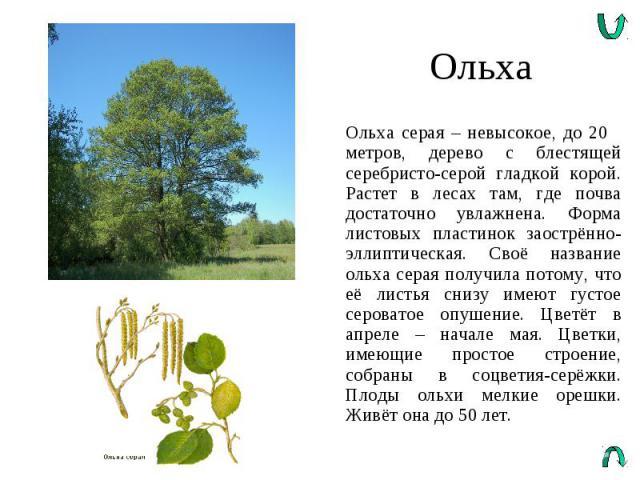 Ольха Ольха серая – невысокое, до 20 метров, дерево с блестящей серебристо-серой гладкой корой. Растет в лесах там, где почва достаточно увлажнена. Форма листовых пластинок заострённо-эллиптическая. Своё название ольха серая получила потому, что её …