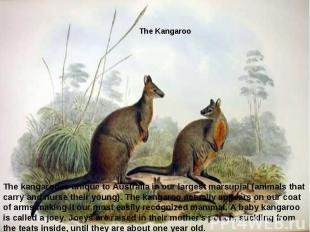 The kangaroo is unique to Australiais our largest marsupial (animals that carry