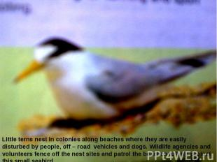 Little terns nest in colonies along beaches where they are easily disturbed by p