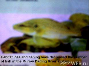 Habitat loss and fishing have decreased the number of fish in the Murray Darling