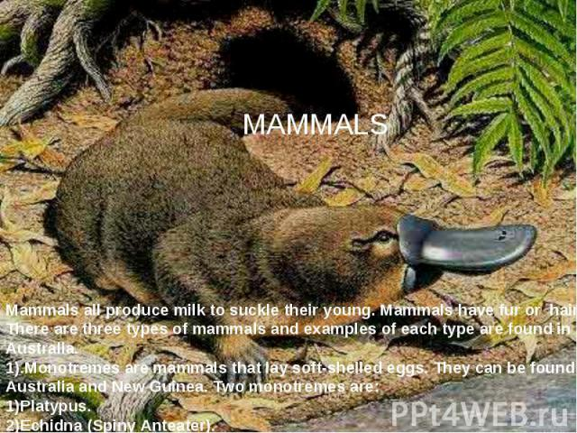 MAMMALS Mammals all produce milk to suckle their young. Mammals have fur or hair. There are three types of mammals and examples of each type are found in Australia. 1).Monotremes are mammals that lay soft-shelled eggs. They can be found in Australia…