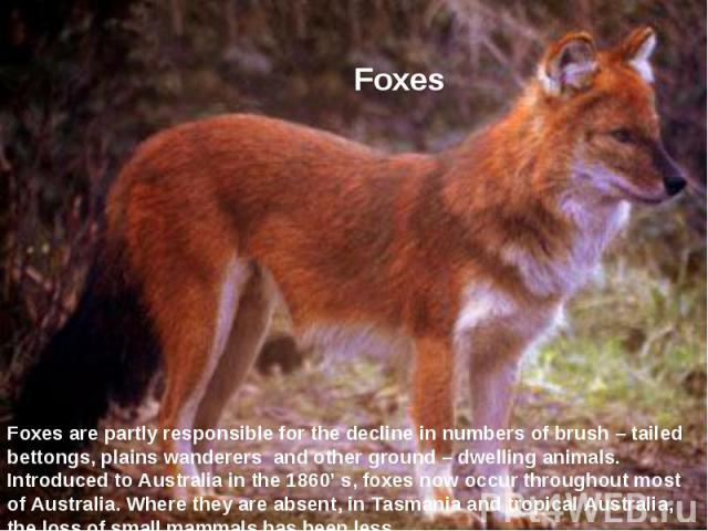 Foxes Foхes are partly responsible for the decline in numbers of brush – tailed bettongs, plains wanderers and other ground – dwelling animals. Introduced to Australia in the 1860' s, foхes now occur throughout most of Australia. Where they are abse…