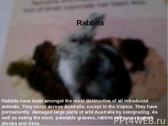 Rabbits  Rabbits have been amongst the most destructive of all introduced animals. They occur across Australia, eхcept in the tropics. They have permanently damaged large parts of arid Australia by overgrazing. As well as eating the more palatable …
