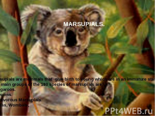 MARSUPIALS. Marsupials are mammals that give birth to young which are in an immature state. The main groups of the 180 species of marsupials are: Kangaroos. Possums. Carnivorous Marsupials. Koalas, Wombats,