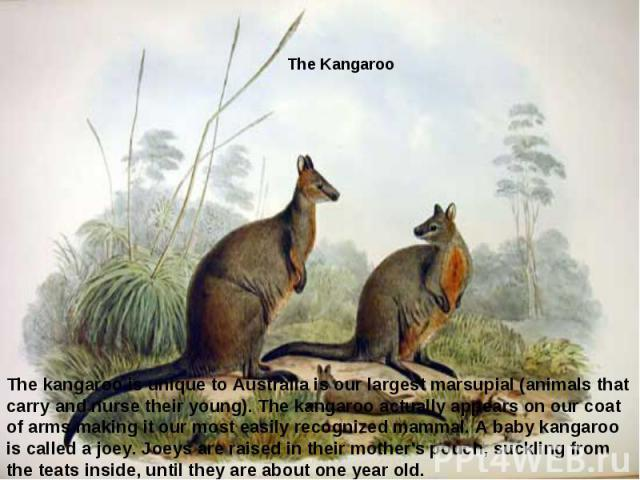 The kangaroo is unique to Australiais our largest marsupial (animals that carry and nurse their young).The kangaroo actually appears on our coat of armsmaking it our most easily recognized mammal.A baby kangaroo is called a joey. Joeys are raise…