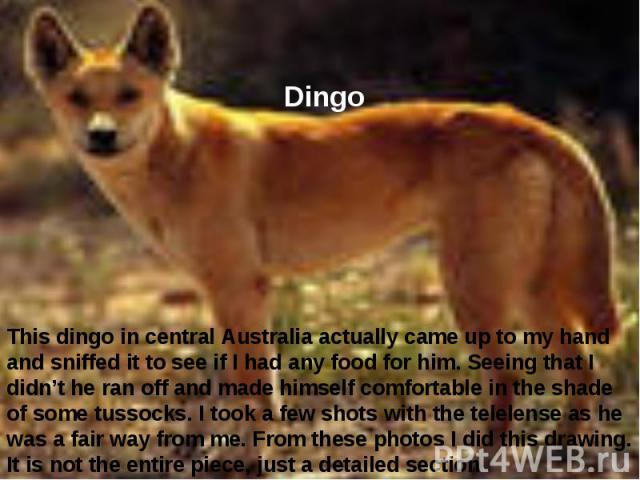 Dingo This dingo in central Australia actually came up to my hand and sniffed it to see if I had any food for him. Seeing that I didn't he ran off and made himself comfortable in the shade of some tussocks. I took a few shots with the telelense as h…