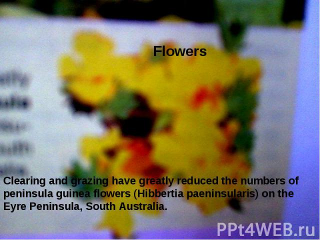 Flowers  Clearing and grazing have greatly reduced the numbers of peninsula guinea flowers (Hibbertia paeninsularis) on the Eyre Peninsula, South Australia.