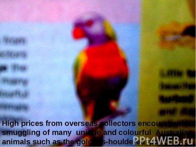 High prices from overseas collectors encourage the smuggling of many unique and colourful Australian animals such as the goldens-houldered parrot.