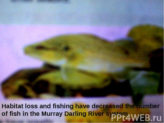 Habitat loss and fishing have decreased the number of fish in the Murray Darling River system.