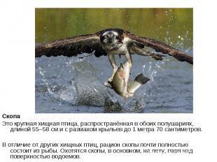 Скопа Это крупная хищная птица, распространённая в обоих полушариях, длиной 55–5