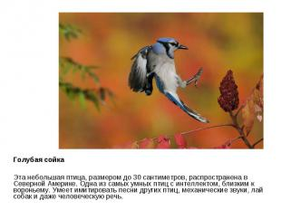 Голубая сойка Эта небольшая птица, размером до 30 сантиметров, распространена в
