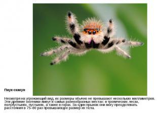 Паук-скакун Несмотря на угрожающий вид, их размеры обычно не превышают нескольки